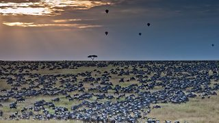Herding home – Wildebeest pictured in mass migration - Video