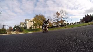 Skilled Corgi is a skateboarding phenom! - Video