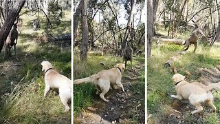 Kung-fu kangaroo: Kangaroo defends territory from dog