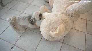 Munchkin the little Shih Tzu drags a huge teddy bear - Video