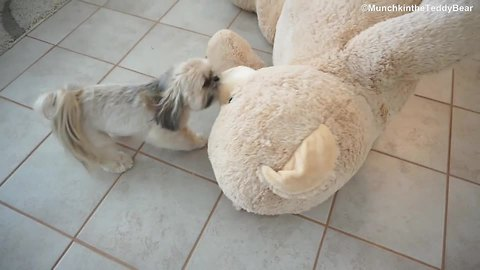 Munchkin the little Shih Tzu drags a huge teddy bear