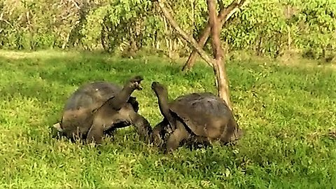 Giant tortoises engage in epic battle and