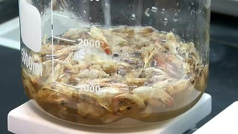 Researchers in Egypt turn prawns into plastic