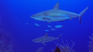 Group Of Sharks Has Close Encounter With Divers - Video