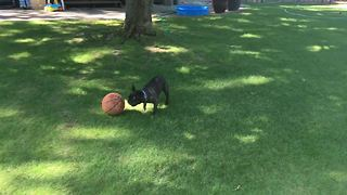 French Bulldog shows off flawless ball handling skills!