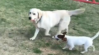 Labrador Retriever walks Jack Russell on leash