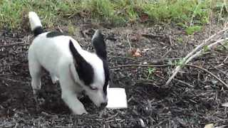 Puppy is Caught Stealing Keys and Trying to Bury the Evidence - Video