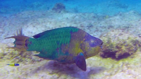 Giant rainbow parrotfish crucial to reef survival