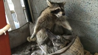 Dog and raccoon share incredible bond - Video