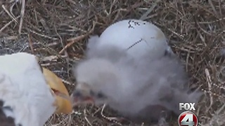 Eagles wait for second egg to hatch - Video
