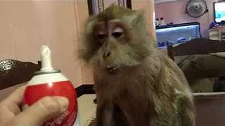 Funny Monkey Gets a Taste of Whipped Cream - Video