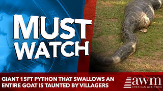 Giant 15ft python that swallows an entire GOAT is taunted by villagers - Video