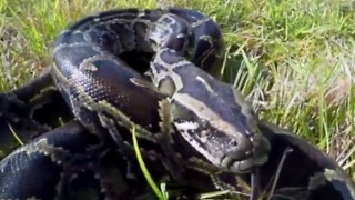 Python hunt resumes in June - Video