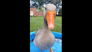 Jolly goose stomps feet to happy song - Video