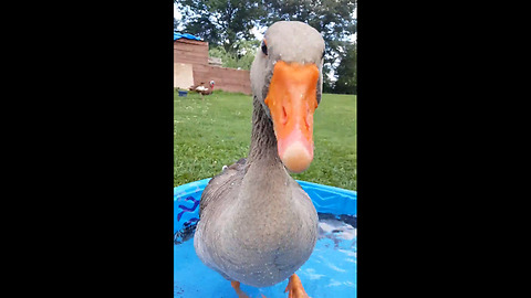 Jolly goose stomps feet to happy song