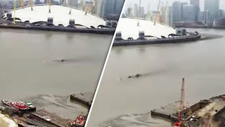 Thames River Monster Sighting-What Was The Creature In The River? - Video
