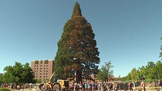 John Muir Giant Sequoia finds new home in downtown Boise - Video