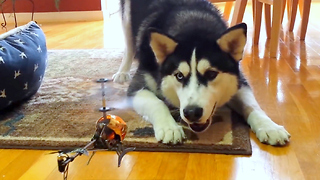 Siberian Husky unsure what to do with RC helicopter - Video