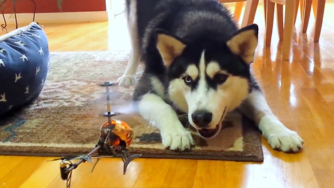 Siberian Husky unsure what to do with RC helicopter
