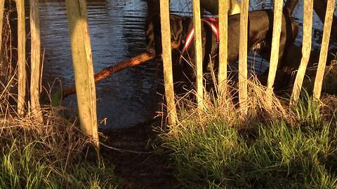 Determined dog struggles to fit giant stick past fence