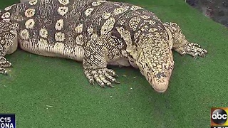 Meet Clyde the Asian Water Monitor - Video