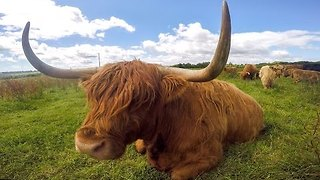 Curious Highland Cattle Take Great Interest in GoPro - Video