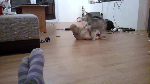 Puppy mistakenly challenges cat