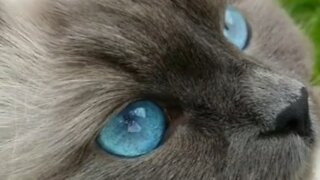 Siberian cat has the bluest eyes you'll ever see
