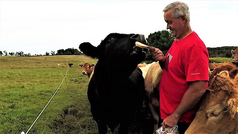 Brave or crazy? Man wears red shirt to hand feed 2,000 pound bull