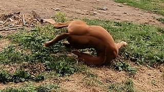 Playful Newborn Foal Falls While Playing In Pasture - Video