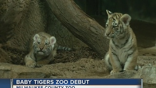 Milwaukee Zoo's new tiger cubs now on display - Video