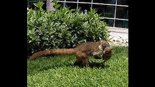 Concerned coati mother drags her babies to safety
