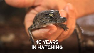 Baby croc miracle in Morocco - Video