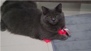 Cat Caught Stealing Owner's Underwear