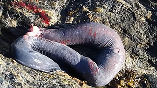 World's Weirdest Fish Found On The Shore In Chile - Video