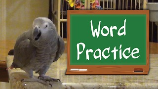 Studious parrot & owner practice their animal sounds - Video