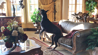 Funny Great Dane Tries Unsucessfully to Catch her Stuffie Toy  - Video
