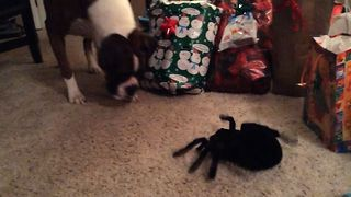 Boxer Dog Confused By Giant Toy Spider