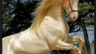 Akhal Teke most beautiful horse stallion in the world  - Video
