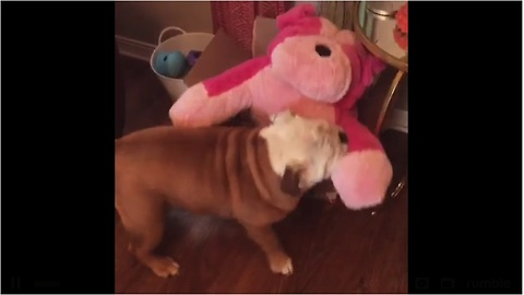 Bulldog opens gift, immediately falls in love