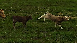 Newborn calf can't contain joy as he frolics with friend
