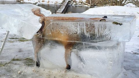 "Hunter Discovers ""Frozen Fox"" Entombed In Ice In The Danube River, Southwest, Germany"