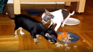 chihuahua puppies with family eating  - Video