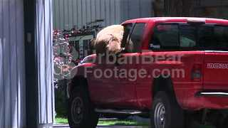 Curious Bear Climbs Through Truck Window - Video