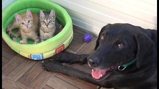 Rescue Dog Fosters Tiny Kittens Found Abandoned on Road