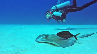 Scuba diver has close-up experience with beautiful stingray - Video