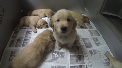 Picking out a Golden Retriever puppy is hard work!