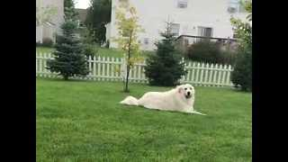Relaxed Dog Does Not Want to Move For Frisbee - Video