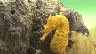 Mesmerising Rare Footage of Seahorses Courting and Breeding - Video