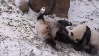 Playful giant pandas enjoy first snowfall in China
